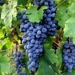 vineyards of Konavle
